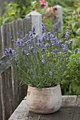 Lavendel 'Aromatic Blue' (Lavandula) im Terracotta - Topf