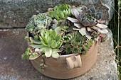 Terracotta - Topf mit Sempervivum (Hauswurz)