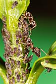 Blattläuse, Aphis spec., und Ameisen, Bayern, Deutschland / Aphids, Aphis spec., and ants, Bavaria, Germany
