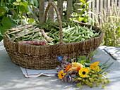 Frisch geerntete Bohnen im Korb : Stangenbohne 'Mechelse Tros'