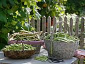 Frisch geerntete Bohnen (Phaseolus)