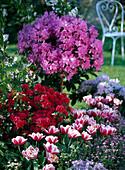 Rhododendron 'Red Jack' , japonica 'Blaauw's Pink' (japanische Azalee)