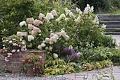 Hydrangea paniculata 'Grandiflora' 'Kyushu' (Strauch - Hortensien), Tricyrtis