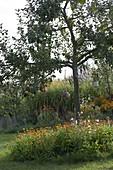 Apfel 'Wiltshire' (Malus), Baumscheibe bepflanzt mit Calendula