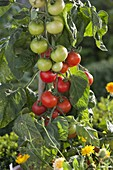 Tomate Salattomate 'Pol Robson' rotbraun von Arche Noah (Lycopersicon)
