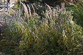 Caryopteris 'Summer Sorbet' (Gelbbunte Bartblume), Pennisetum