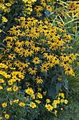 Rudbeckia fulgida 'Goldsturm'(Sonnenhut), Tagetes (Studentenblumen)