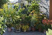 Cassia corymbosa (Gewürzrinde), Campsis 'Flava' (Trompetenwinde)