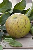 Alte Apfelsorte 'Jacob Lebel' (Malus) mit Stippe - Flecken