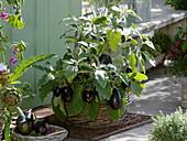 Mini-Aubergine 'Ophelia' (Solanum melongena) in Korb