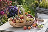 Korb mit frisch gepflückten Äpfeln (Malus) auf Holztisch