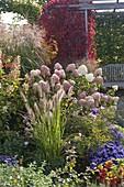 Pennisetum 'Hameln' (Federborstengras), Hydrangea 'Limelight'