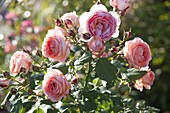Rosa 'Amelia Renaissance' (Strauchrose), öfterblühend, stark duftend