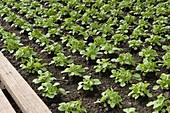 Feldsalat (Valerianella locusta)