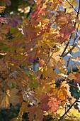 Acer platanoides (Spitz-Ahorn)