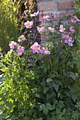 Anemone japonica - Hybride 'Rosenschale' (Herbstanemone)