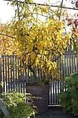 Selbstfruchtbare Bayern-Kiwi 'Issai' (Actinidia arguta) mit Früchten