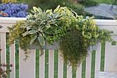 Kräuterkasten : Edel-Salbei 'Rotmühle' (Salvia officinalis), Thymian (Thymus