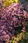 Ajania Bellanie 'Bengo' (Silberchrysantheme)