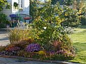Apfelquitte 'Konstantinopler' (Cydonia oblonga), Chrysanthemum 'Kifix'