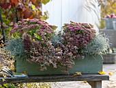 Herbstkasten mit Sedum 'Rosenteller' (Fetthenne), Abelia grandiflora 'Confetti