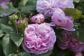 Künstlergarten Rosa 'Jacques Cartier'