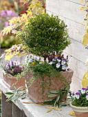 Myrtus (Myrte) Stämmchen unterpflanzt mit Viola cornuta (Hornveilchen)