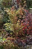 Acer palmatum 'Sangokaku' (Japanischer Fächerahorn) mit roten Stielen
