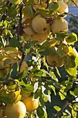Apfelquitte 'Konstantinopler' (Cydonia oblonga)