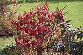 Euonymus alatus (Korkleisten - Spindelstrauch) in Herbstfärbung,