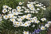 Leucanthemum 'Angel' (Margeriten)