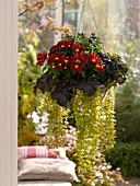 Ampelkorb mit Chrysanthemum (Herbstchrysantheme), Heuchera