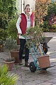 Frau bringt Solanum rantonnetii syn. Lycianthes (Enzianbaum) mit Sackkarre