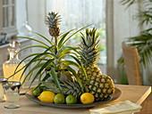 Ananas comosus (Ananas) als Zimmerpflanze mit Mini-Frucht
