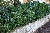 Hecke aus Prunus laurocerasus (Kirschlorbeer) auf Steinmauer im Vorgarten