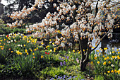 Blühende Amelanichier (Kupfer-Felsenbirne) mit Narcissus (Narzissen), Tulipa (Tulpen)