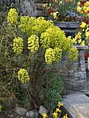 Euphorbia characias (Palisaden-Wolfsmilch) an Mauer