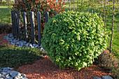 Acer campestre (Feld-Ahorn) als kleine Kugel im Beet, gemulcht mit Ziegelsplitt, Holz-Bohlen als Trennung, Kalksteine