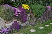 Trockenmauer mit Aubrieta (Blaukissen), Phlox subulata (Polster-Phlox) und Alyssum (Steinkraut)