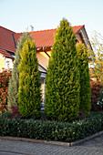Chamaecyparis lawsoniana 'Ellwood's Gold' (Goldgelbe Kegelzypresse) im Vorgarten, Hecke aus Prunus laurocerasus 'Otto Luyken' (Kirschlorbeer)