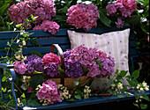 Hydrangea macrophylla / Hortensie als Strauch und frisch