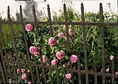 Rosa 'Louise Odier' (Bourbonrose)