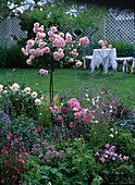 Rosa 'Bonica 82' / Rosenstämmchen, Gaura / Prachtkerzen