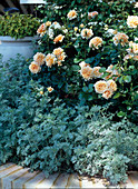 Rosa 'Grace', 'Winchester Cathedral' / Englische Duftrosen,