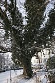 Großer Baum bewachsen mit Hedera (Efeu)