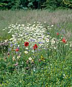 Blumenwiese mit PAPAVER, Kornblume