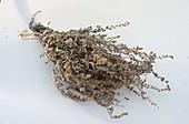 Beifuß (Artemisia vulgaris) getrocknet als Gewürz für Gänsebraten
