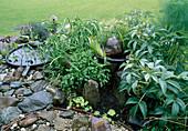 Helleborus argutifolius, Salvia officinalis, Kleiner Wassergarten