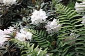 Rhododendron 'Edelweiß' mit Farn