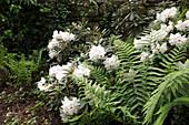 Rhododendron 'Edelweiß' mit Farn vor Mauer